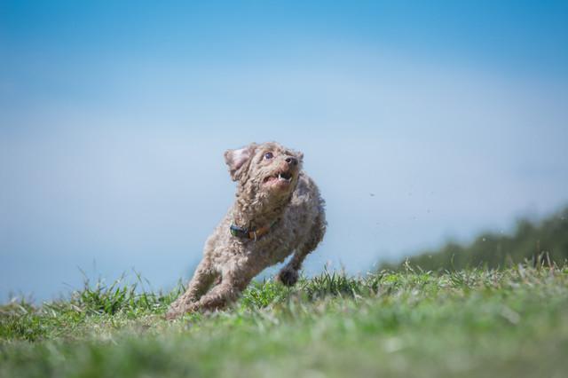 散歩で走る犬