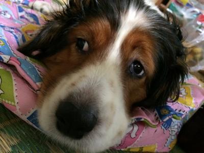 子宮蓄膿症の犬