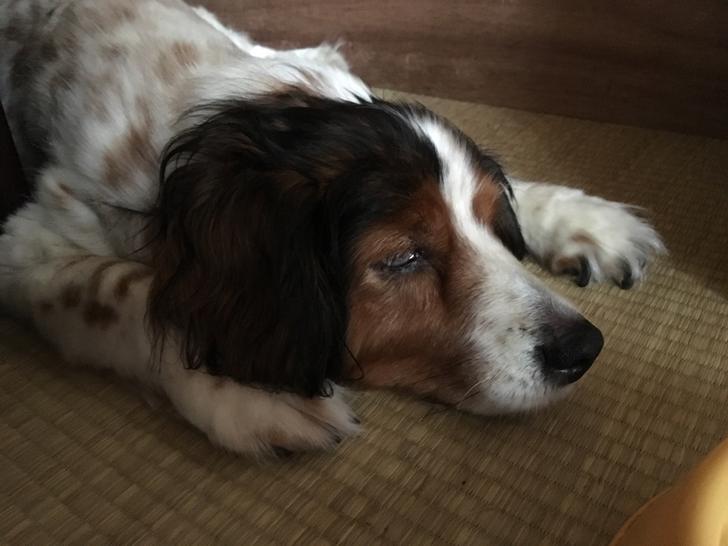 手術後のメス犬